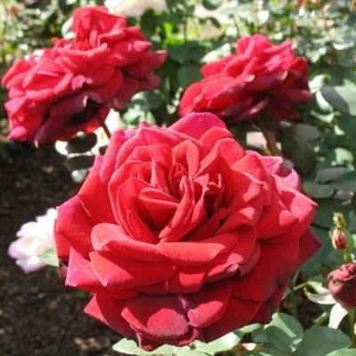 Роза чайно-гибридная Эдит Пиаф C4
