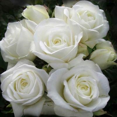 Роза чайно-гибридная Акито C4