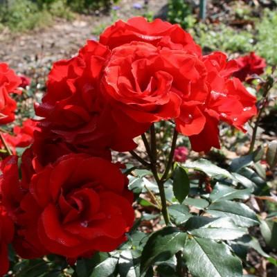 Роза чайно-гибридная Сатчмо C4