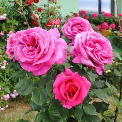 Роза чайно-гибридная Пароль C4