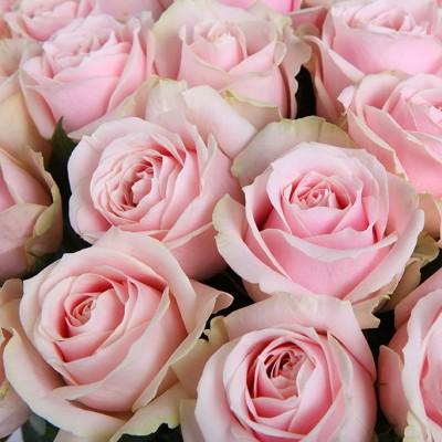 Роза чайно-гибридная Свит Аваланж C4 ПРЕДЗАКАЗ