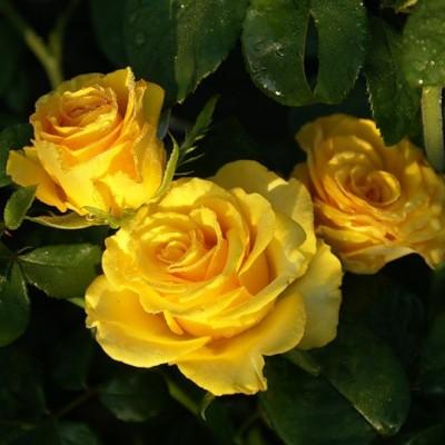 Роза чайно-гибридная Сейко C4