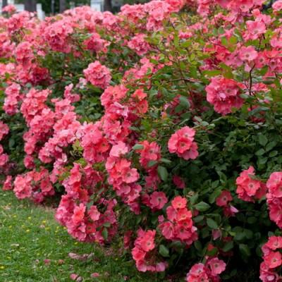 Роза почвопокровная Дусор Норманде C4