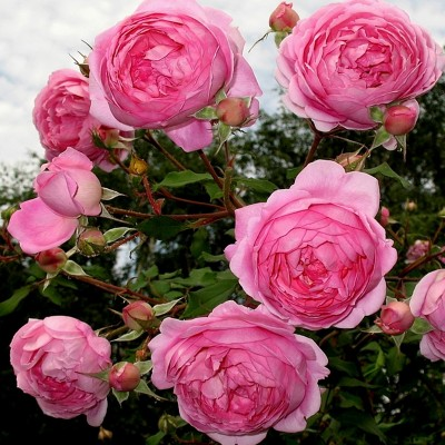 Роза английская Алан Титчмарш C4
