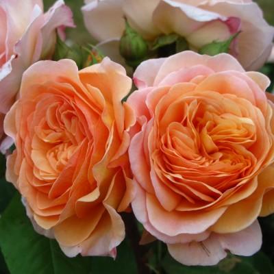 Роза английская Чарльз Остин C4