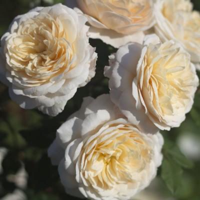 Роза английская Крокус Роуз C4