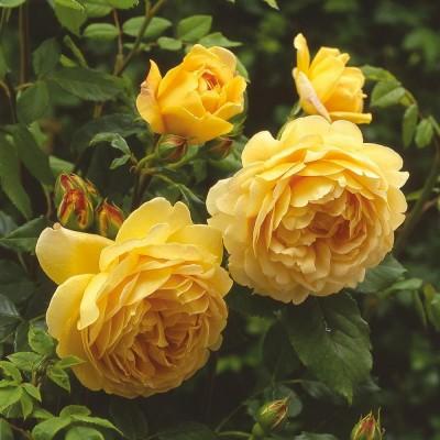 Роза английская Голден Селебрейшн C4
