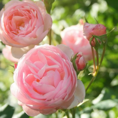 Роза английская Херитейдж C4 ПРЕДЗАКАЗ