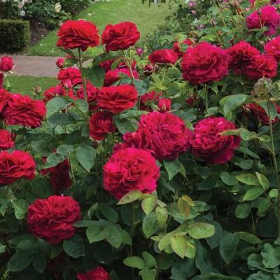 Роза английская Л. Д. Брайтвайт C4