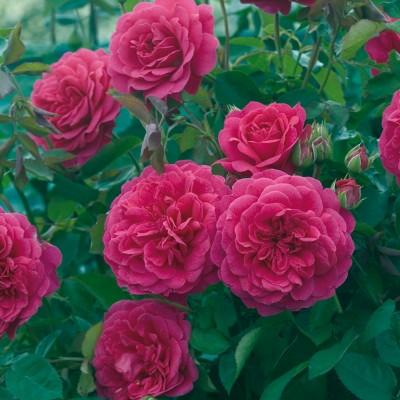 Роза английская Сэр Джон Бенджамин C4