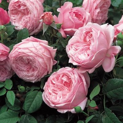 Роза английская Спирит оф Фридом C4