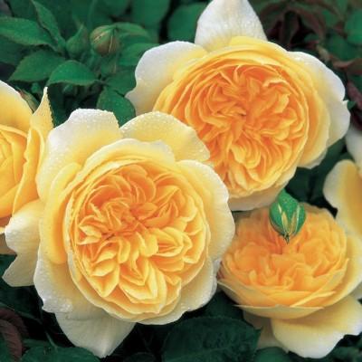 Роза английская Тизинг Джорджия C4