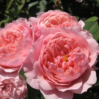 Роза английская Алнвик Роуз C4