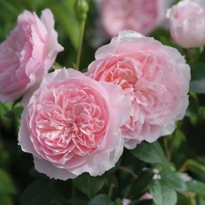 Роза английская Висли C4