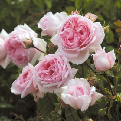 Роза английская Ведгвуд Роуз C4