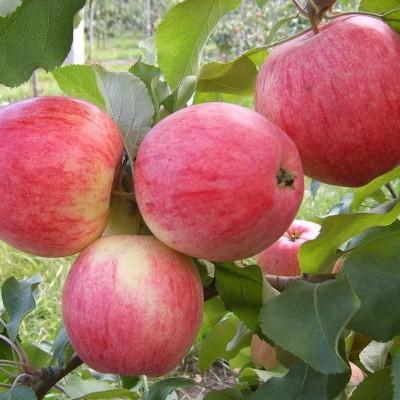 Яблоня с 2-мя прививками ИЮНЬСКОЕ ЧЕРНЕНКО + РИЖСКИЙ ГОЛУБОК 3-х летнее ЗКС