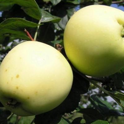 Яблоня Лавриково 3-х летнее ЗКС