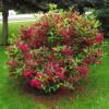 Вейгела цветущая Бристол Руби C4 H45-55 см