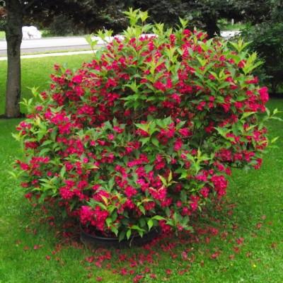 Вейгела цветущая Бристол Руби C2