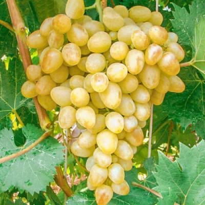 Виноград плодовый Аркадия C3 Н40-60 см