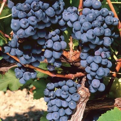 Виноград плодовый Плечистик Северный С3