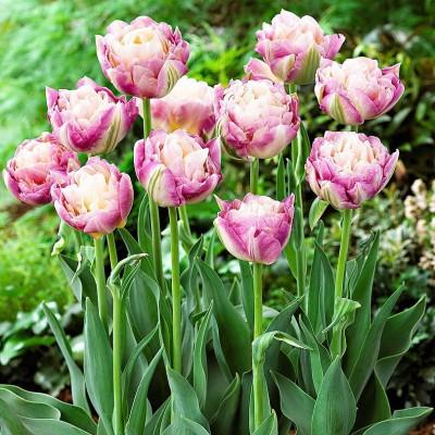 Тюльпан махровый поздний Свит Дизайр 5 шт/уп