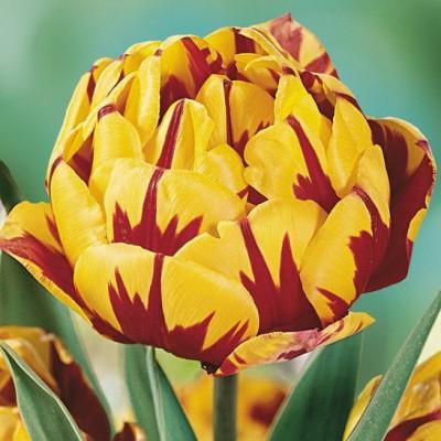 Тюльпан махровый поздний Голден Ницца 5 шт/уп
