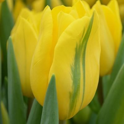 Тюльпан зеленоцветный Формоза 5 шт/уп