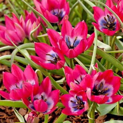Тюльпан ботанический Литтл Бьюти 5 шт/уп