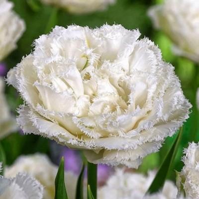 Тюльпан бахромчатый Сноу Кристал 5 шт/уп