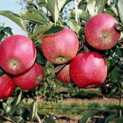 Яблоня Апорт 2-х летнее зкс