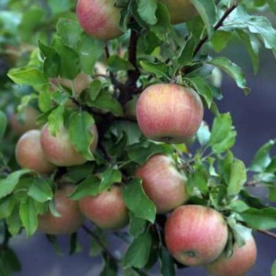 Яблоня Бельфлер-Китайка 3 -х летнее зкс
