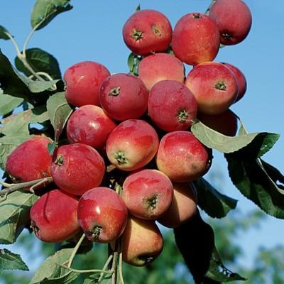 Яблоня Алтайский голубок 3-х летнее зкс