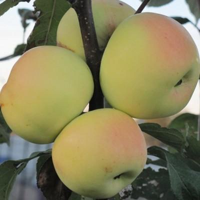 Яблоня Бумажное 3-х летнее зкс
