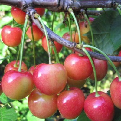 Черешня Орловская розовая 3-х летнее зкс