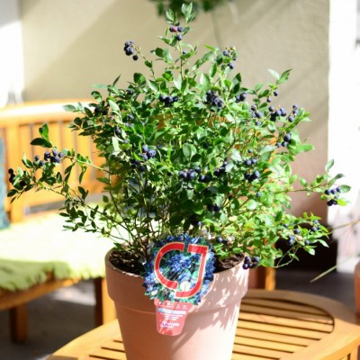Голубика садовая Арто C10 Н40-60 см