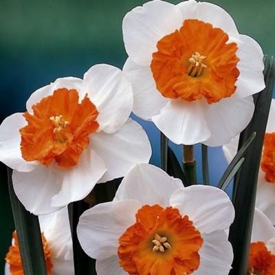 Нарцисс крупнокорончатый Белла Виста 5 шт/уп