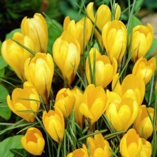 Крокус крупноцветковый Биг Йеллоу 10 шт/уп