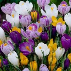 Крокус крупноцветковый Смесь красок 10 шт/уп
