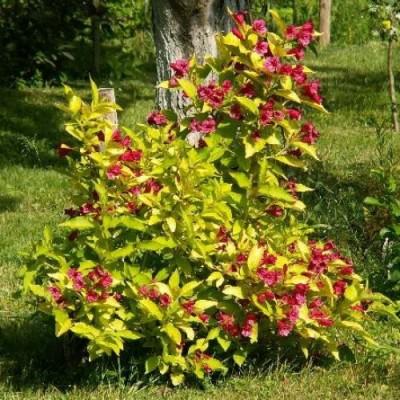 Вейгела цветущая Ауреа C2 Н30-50 см