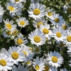 Хризантема болотная С1