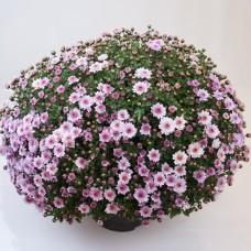 Хризантема мультифлора нежно-розовая С2