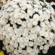 Хризантема мультифлора белая С4