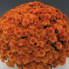 Хризантема мультифлора оранжевая С4