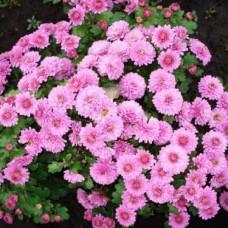 Хризантема мультифлора розовая С4