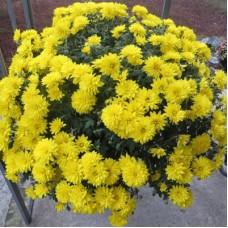 Хризантема мультифлора жёлтая С4