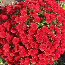 Хризантема мультифлора красная С4