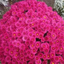 Хризантема мультифлора ярко-розовая С4