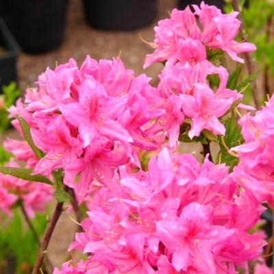 Азалия гибридная Рози Лайтс С10 Н75-90 см