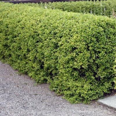 Смородина альпийская С3 Н40-60 см